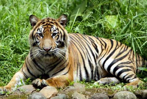 harimau ( Panthera tigris )